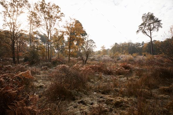 Autumn Trees And Bracken At Burnham Beeches In Buckinghamshire - Stock Photo - Images