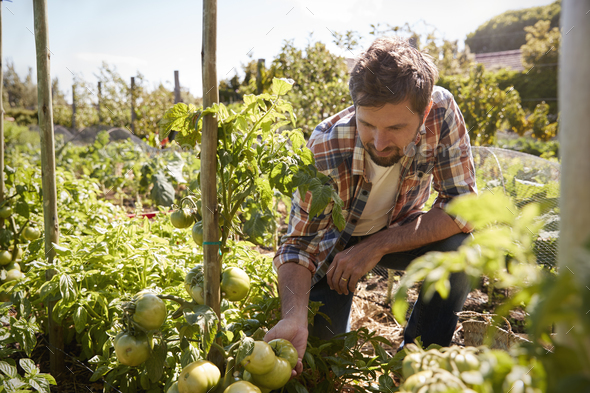 Man Checking Tomato Plants Growing On Allotment - Stock Photo - Images