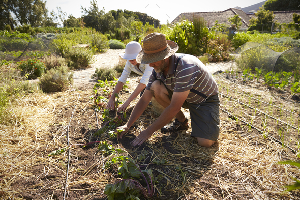 Mature Couple Working On Community Allotment Together - Stock Photo - Images