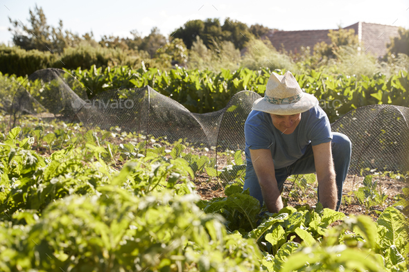 Mature Man Harvesting Beetroot On Community Allotment - Stock Photo - Images