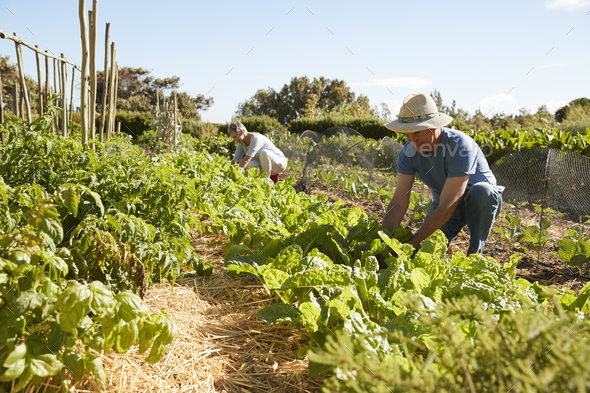 Mature Couple Harvesting Beetroot On Community Allotment - Stock Photo - Images