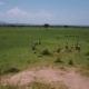 Zebras in Tanzania Safari Mikumi - VideoHive Item for Sale