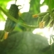 Growing Cucumbers in the Greenhouse By Method of Drip Irrigation. Smooth Camera Movement. - VideoHive Item for Sale
