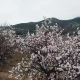 Almond Blossom in the Province of Alicante  - VideoHive Item for Sale