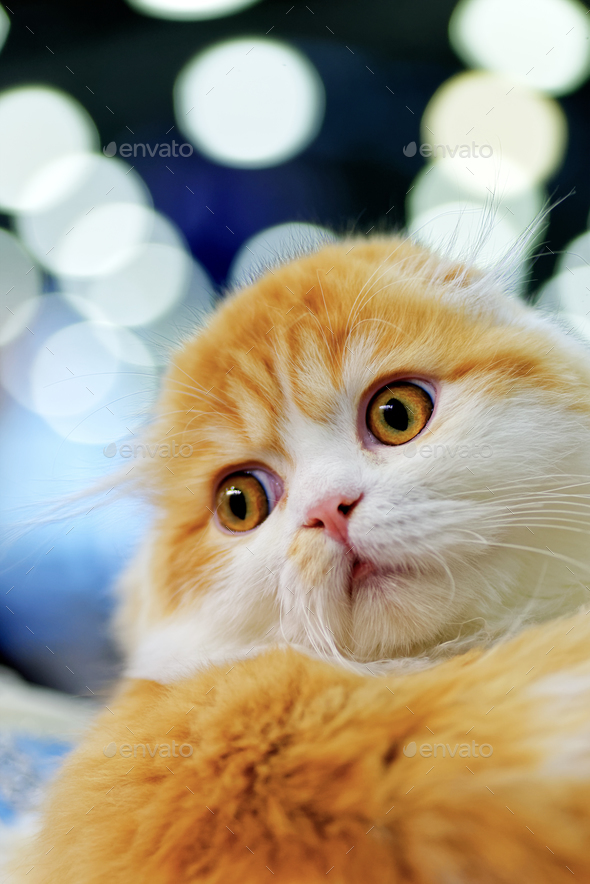 Young Scottish Fold cat - Stock Photo - Images