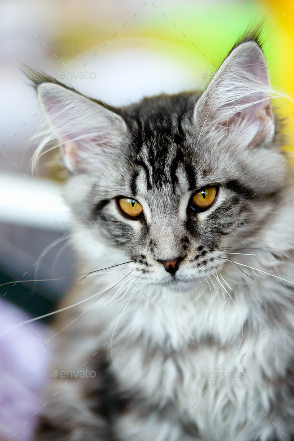 Grey-white tabby Maine Coon cat - Stock Photo - Images