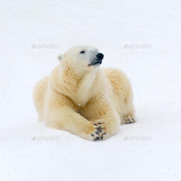 Polar bear on white snow - Stock Photo - Images