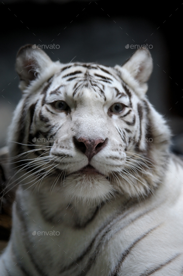 White tigress - Stock Photo - Images