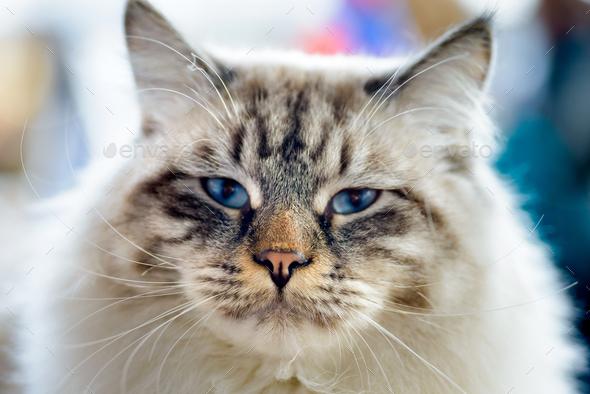 Ragamuffin cat - Stock Photo - Images