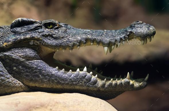 Siamese freshwater crocodile smiling - Stock Photo - Images