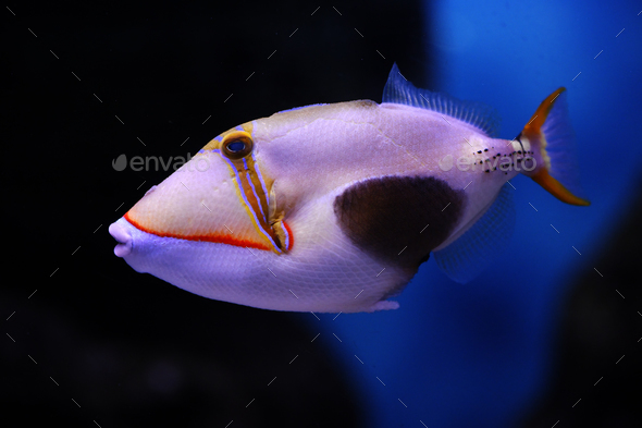 Blackbelly triggerfish - Stock Photo - Images