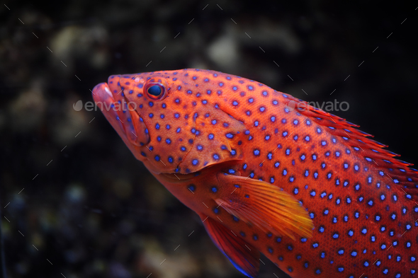 Red groper - Stock Photo - Images