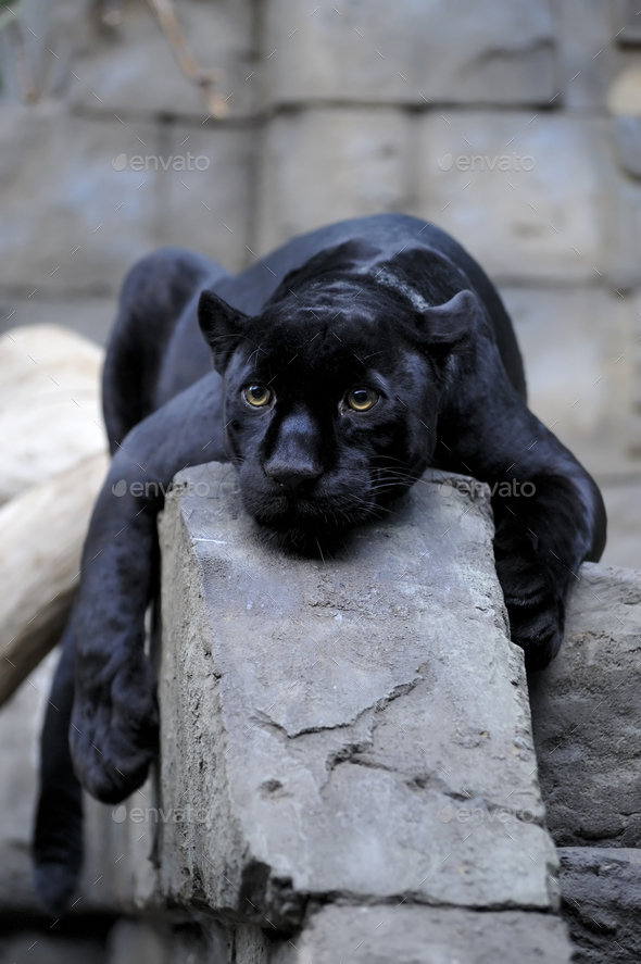 Black jaguar - Stock Photo - Images