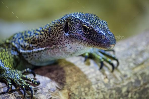 Curious lizard - Stock Photo - Images