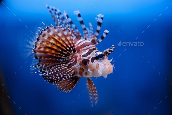 Lionfish (dendrochirus zebra) in a Moscow Zoo aquarium - Stock Photo - Images