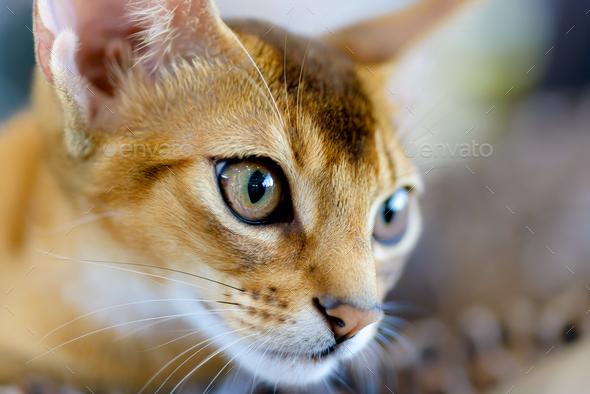Abyssinian cat portrait - Stock Photo - Images