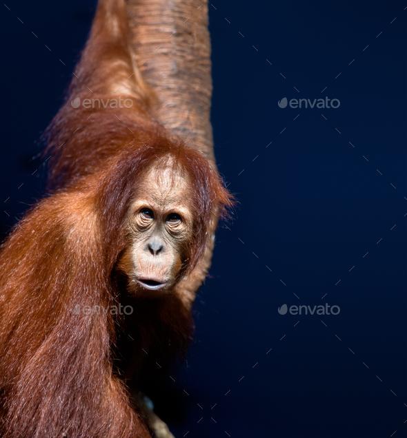 Young orangutan - Stock Photo - Images