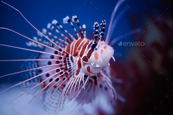 Lionfish - Stock Photo - Images