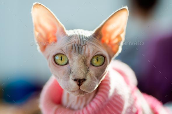 Sphynx cat - Stock Photo - Images