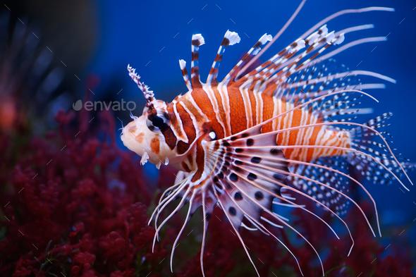 Lionfish - Stock Photo - Images