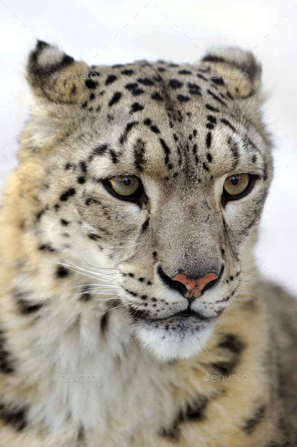 Snow leopard - Stock Photo - Images