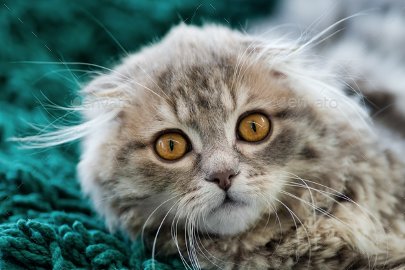 Scottish Fold kitten - Stock Photo - Images