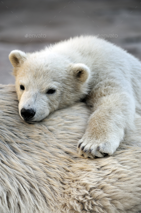 Little polar bear cub having a rest at his mom`s back - Stock Photo - Images