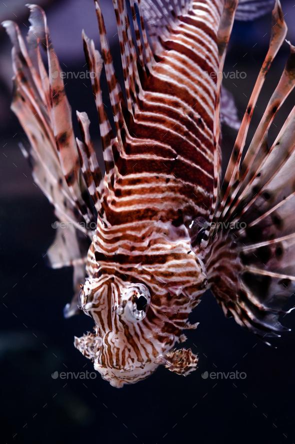 Lionfish portrait - Stock Photo - Images