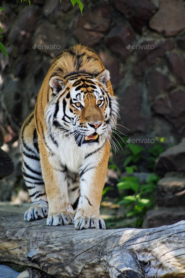 Siberian tiger - Stock Photo - Images