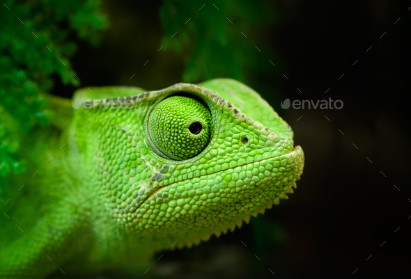 Green chameleon - Stock Photo - Images