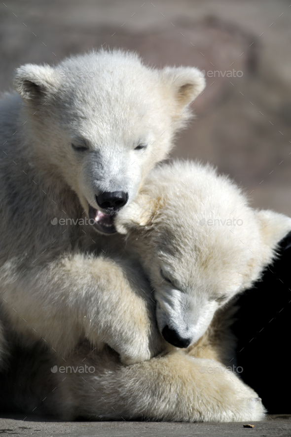 Two little polar bear cubs playing - Stock Photo - Images