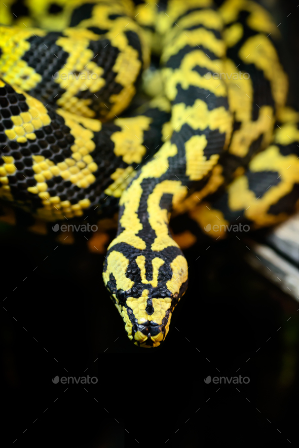 Jungle carpet python - Stock Photo - Images