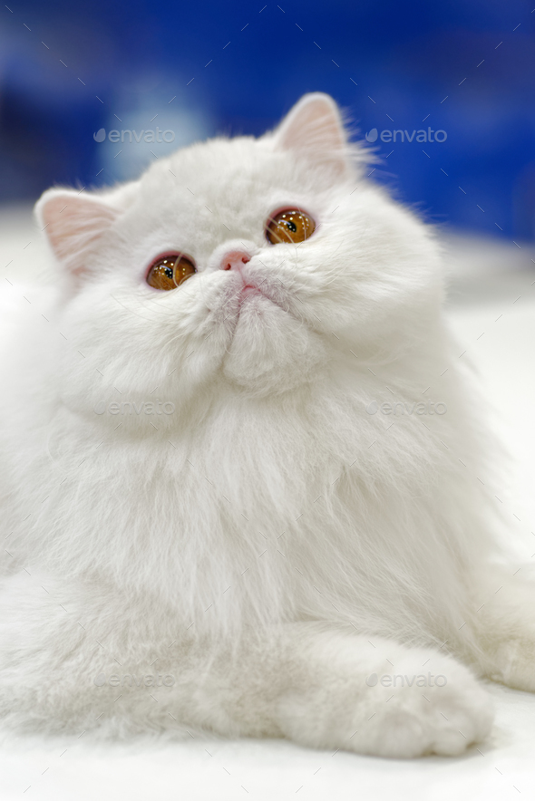 Young white cat - Stock Photo - Images
