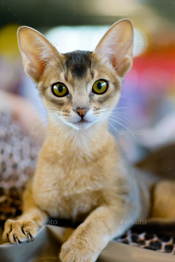 Abyssinian cat portrait - Stock Photo - Images