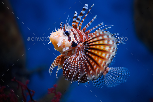 Lionfish (dendrochirus zebra) in a Moscow Zoo aquarium - Stock Photo - Images