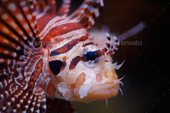 Lionfish portrait - Stock Photo - Images