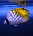 Threadfin Butterflyfish - PhotoDune Item for Sale