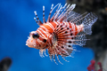 Lionfish (Pterois mombasae) in a Moscow Zoo aquarium - PhotoDune Item for Sale
