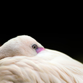 Lesser flamingo - PhotoDune Item for Sale
