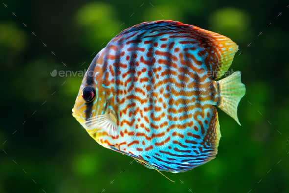 Discus, tropical decorative fish - Stock Photo - Images