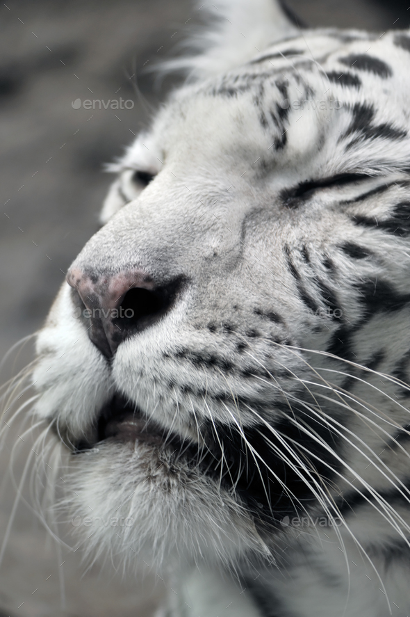 White tigress, close-up portrait - Stock Photo - Images