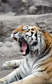 Siberian tiger - PhotoDune Item for Sale