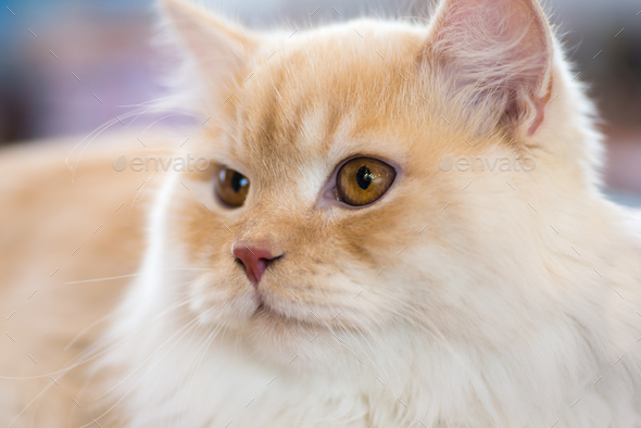 Relaxed orange-white cat - Stock Photo - Images