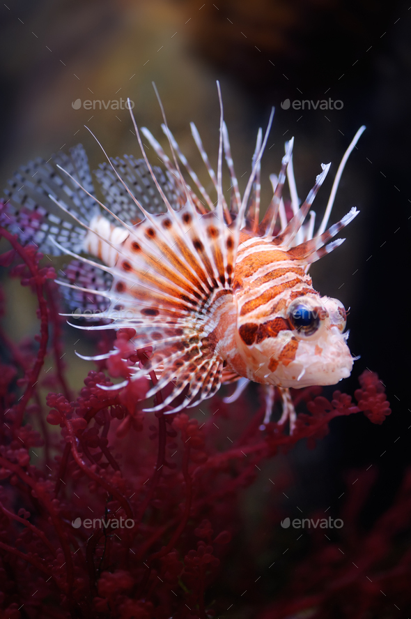 Lionfish (Pterois mombasae) in a Moscow Zoo aquarium - Stock Photo - Images