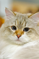 Young Ragamuffin cat - PhotoDune Item for Sale