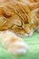 Big red Maine Coon cat - PhotoDune Item for Sale