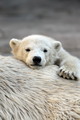 Little polar bear cub having a rest at his mom`s back - PhotoDune Item for Sale