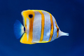 Copperband butterfly fish - PhotoDune Item for Sale