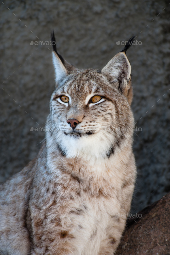 Lynx - Stock Photo - Images