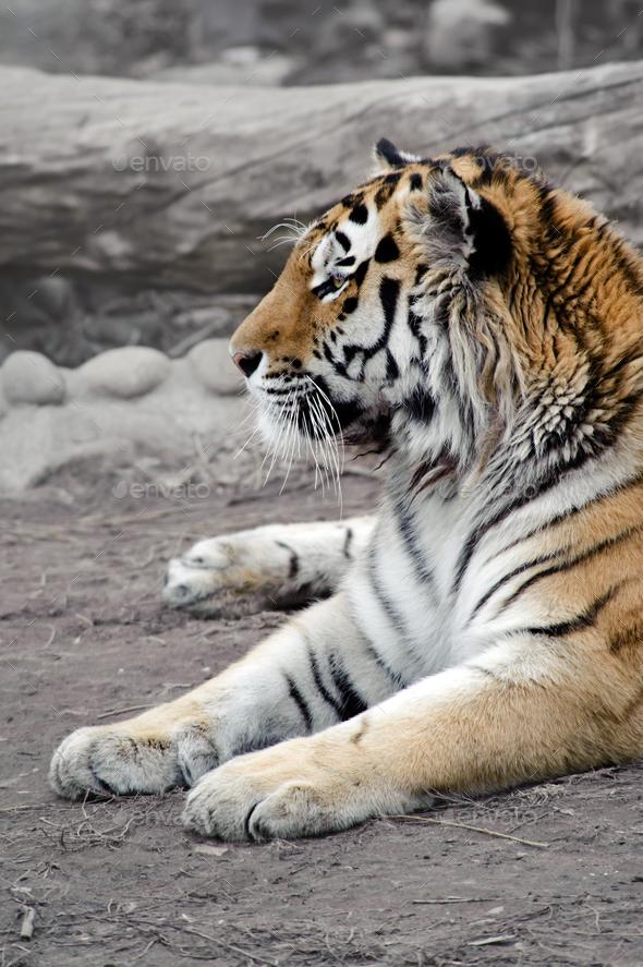 Siberian tiger - Stock Photo - Images